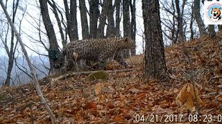 Amur leopards spotted by cameras in northeast China