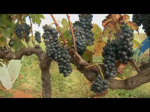 Produção de Vinho Finos no Sudeste Brasileiro