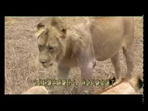 獅子擒豬記