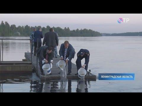 В Неву выпустили 90 тысяч особей атлантического лосося