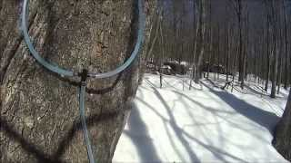 Tapping Maple Trees For Homemade Organic Maple Syrup