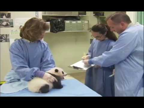 超可愛的熊貓寶寶