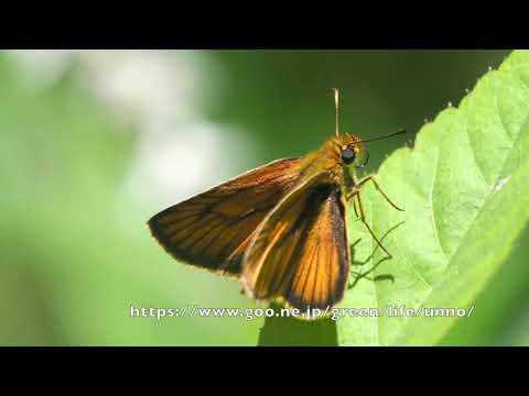 庭のスジグロチャバネセセリの飛翔 Thymelicus leoninus