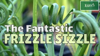 Meet The Fantastic 'Frizzle Sizzle' - How To Grow And Care For Albuca 'Frizzle Sizzle'