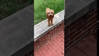 Cockapoo Puppies Videos