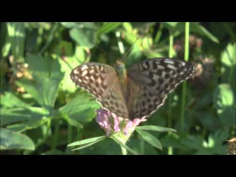 Silver washed Fritillary Argynnis paphia female form valezina feeding