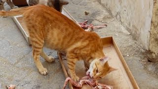 preview picture of video 'Mangy cats feeding in Tunis'