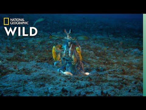 Mantis Shrimp vs Octopus | Ocean Fight Night