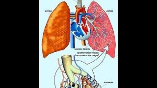 Строение органов дыхания. Биология 8 класс.