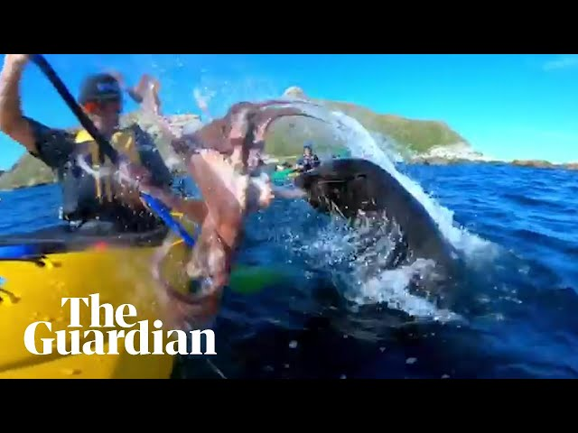 Seal slaps kayaker in the face with an octopus
