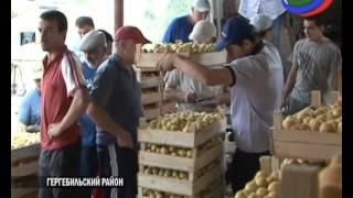 В Гергебильском районе - рекордный урожай абрикосов