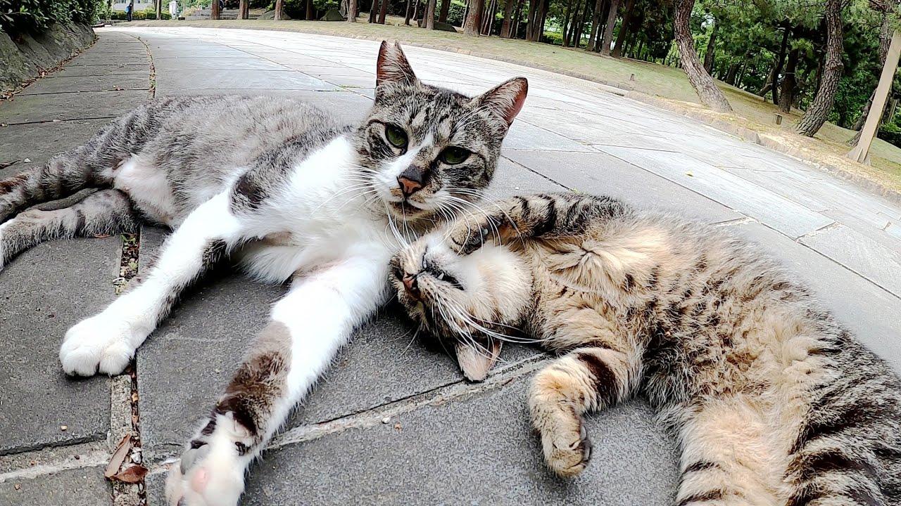 仲間猫の近くに寄って行ってゴロニャンと甘えるキジトラ猫