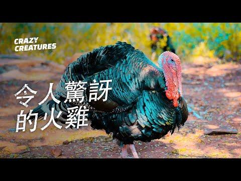 , title : '火雞的6條驚人事實 | 奇怪動物紀錄片'