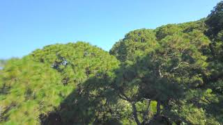 FPV Drone Tree Top Surfing