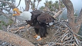 Big Bear Eagle Cam ~ Intruder Alert! ~ Mom & Shadow Fly Off To Defend The Nest w/ SLO MO 4.5.19