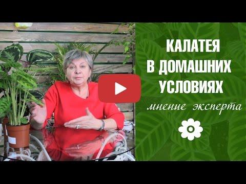 HitsadTV - Калатея 🌷 Уход в домашних условиях