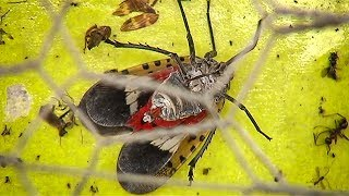 Tree Of Heaven Might Be Key To Spotted Lanternfly Invasion