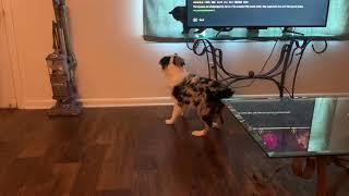 Australian Shepherd Puppies Videos