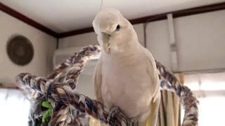 """ソロモンオウムたろちゃん 9年目にしてようやくパパって言ったね(´-`*)   Cockatoo That Started Talking To """"Papa"""""""