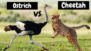 Cheetah The Fastest Animal in the World Amazing Attacks- Cheetah vs Ostrich | Unbelievable