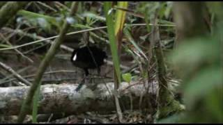 Superb Bird of Paradise - courtship dance