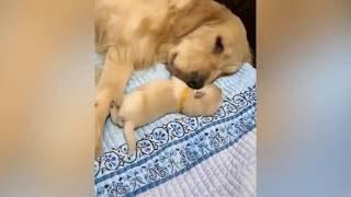 母爱太伟大了,主人让金毛摸下宝宝,金毛马上就去摸 ! ! !