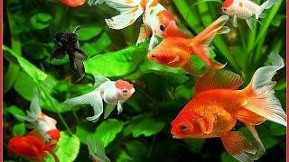 Схемы для вышивки золотой рыбки