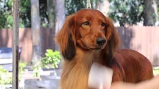 Grooming A Longhair Dachshund (Pramada Grooming Series #1)