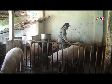 Vội vàng tái đàn sau dịch tả lợn châu Phi - Lợi bất cập hại
