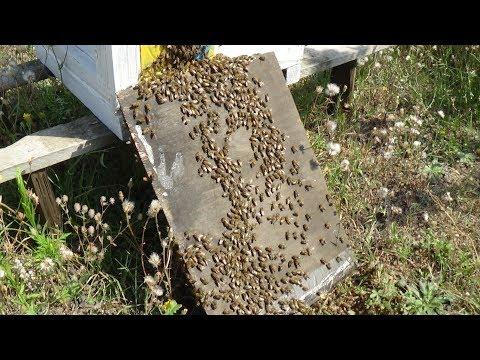 Усиление отводков пчелой в зиму