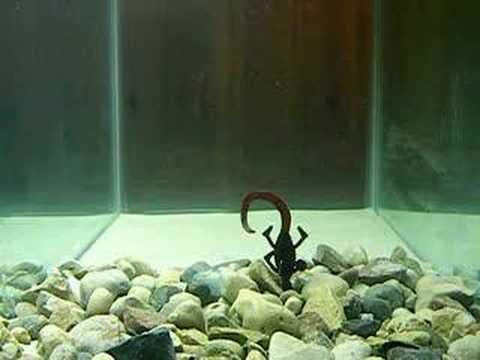 Gambler Loco Lizard Bass Fishing Lure Review