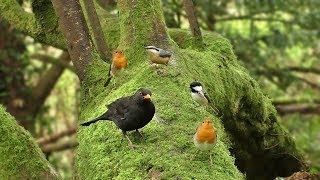 Morning Birdsong : Sounds and Videos for Cats and People to Enjoy - Let Nature Sing