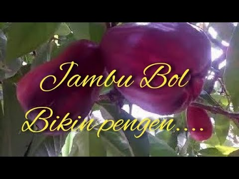Video jambu bol - buah langka