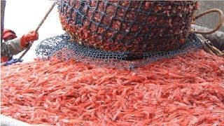 Amazing Shrimp Fishing..You Won
