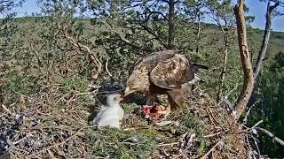 Latvian Golden Eagle ~ Spilve Gives Klints A GREAT Feeding! Humongous Crop & Food Coma! 5.30.20
