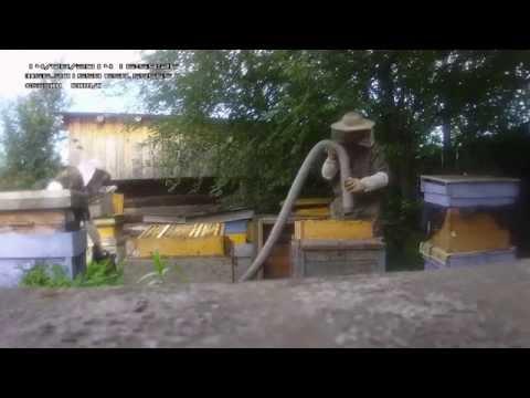 Выдувание пчел ранцевой воздуходувкой на пасеке Рябухина в Свердловской области.