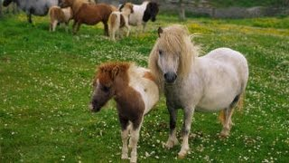 preview picture of video 'Shetland pony foal feeding from its mother'