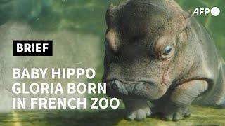 Baby Hippo Makes A Splash At French Zoo | AFP