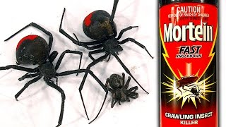 How To Kill Deadly Redback Spider Infestation Mortein FAST Knockdown