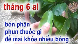 Tháng 6al (đầu Giai đoạn Làm Nụ) Bón Phân Phun Thuốc Gì Giúp Cây Khỏe Bông đạt   3 Thời Kỳ Cây Mai