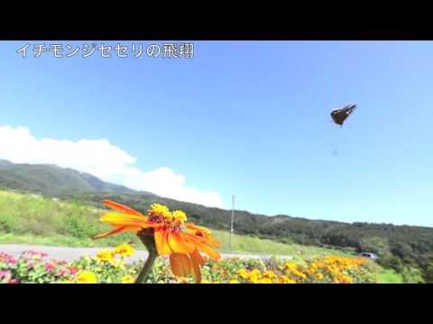 イチモンジセセリの飛翔