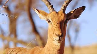 Antelope - Impala - Africas Wild Wonders - The Secrets Of Nature