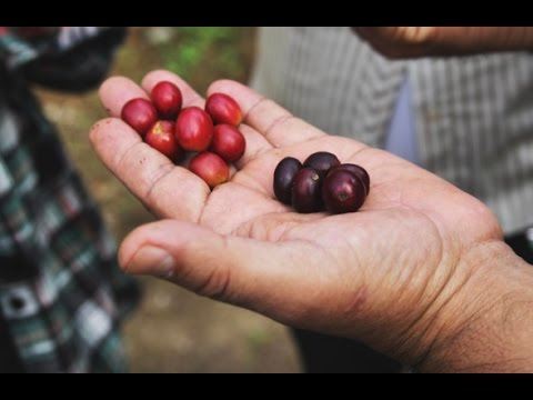 Guatemalan Coffee on a Global Landscape