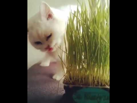 Video Rumput Kucing