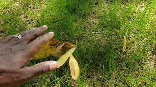 Importance of Leaf Removal During Renovation and Seeding