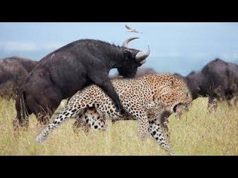 Buffalo Vs Leopard, Buffalo Attack Leopard Animal Attack Nature, Lion,  Hyenas, Boar, Wild dog