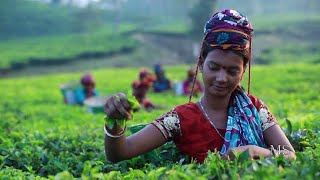 preview picture of video 'মিশ্র চির সবুজ বন সাতছড়ি ::সবুজের হাতছানি শ্রীমঙ্গল | ভ্রমণ ...'