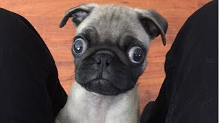 Funny Dogs but only Pug Videos | instapugs - Pug Compilation 11