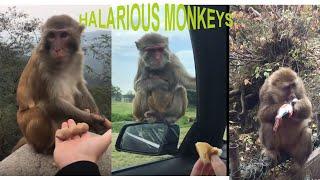 Tik Tok Monkey Video compilation - Most Adorable Monkey Video