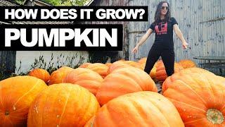 PUMPKIN | How Does it Grow?